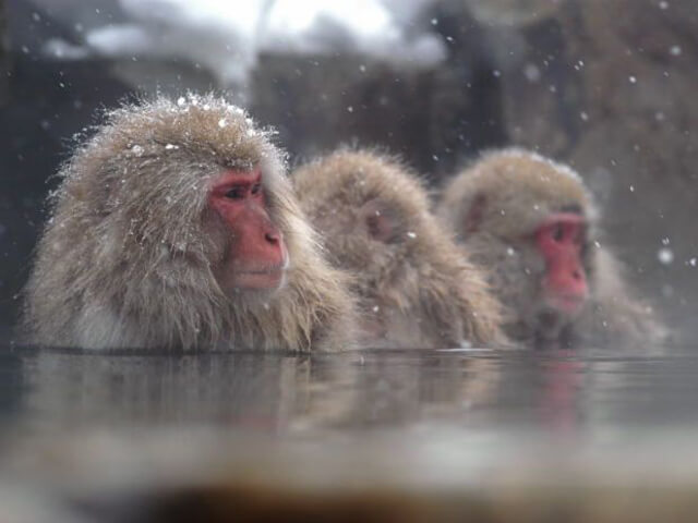 Winter Discovery - Snow Monkey