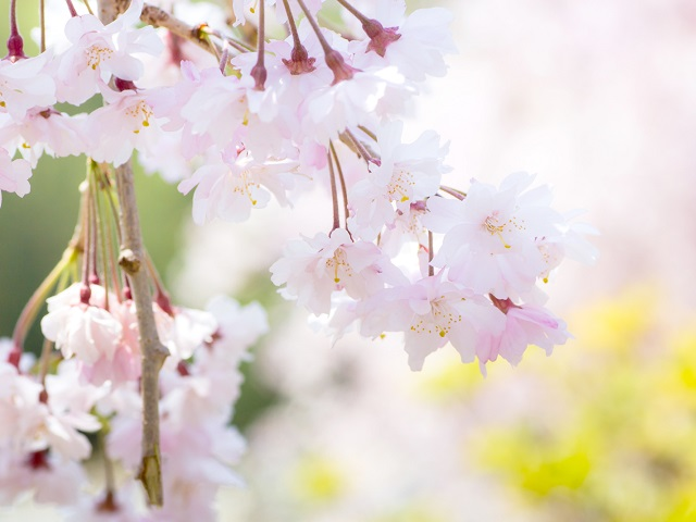 Japan's Earliest Cherry Blossom Festival