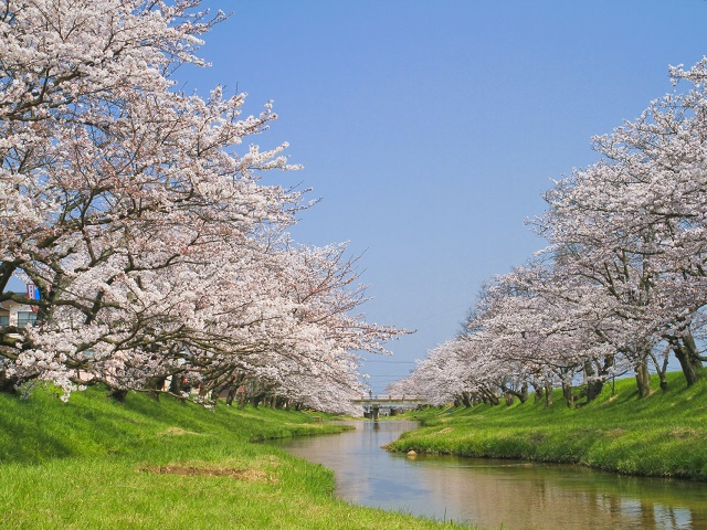 Cherry Blossom and Creek