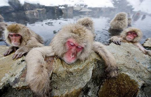Onsen (hot Spring) is soaked by not only people but also monkeys.
