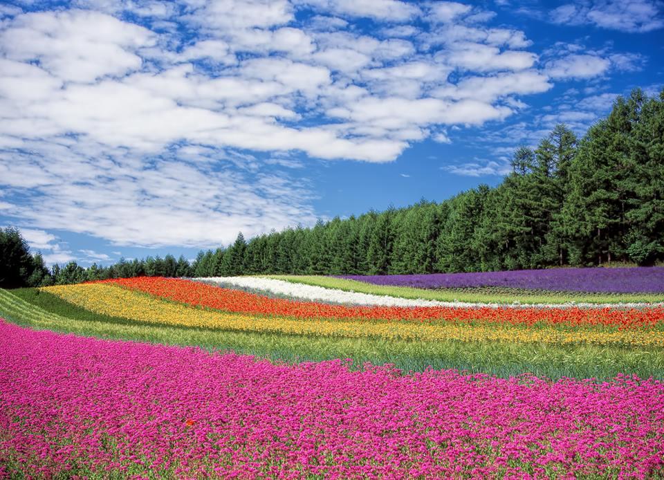 Beautiful carpet of lavender
