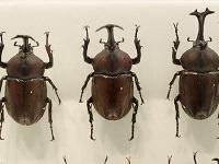 Kabutomushi (Japanese rhinoceros beetle)