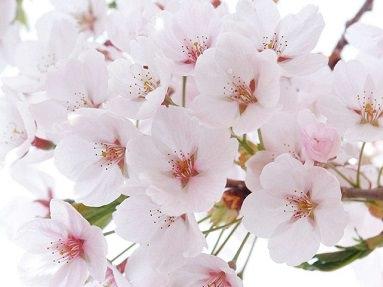 1. Somei Yoshino - Yoshino Cherry