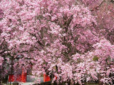 3. Shidarezakura - Weeping Cherry