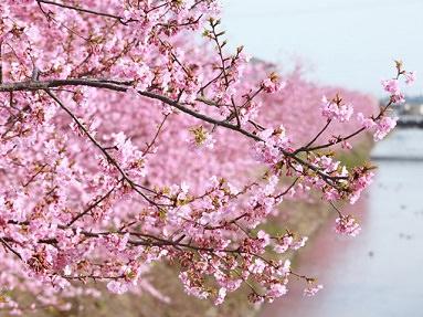 4. Kawazuzakura - River Cherry