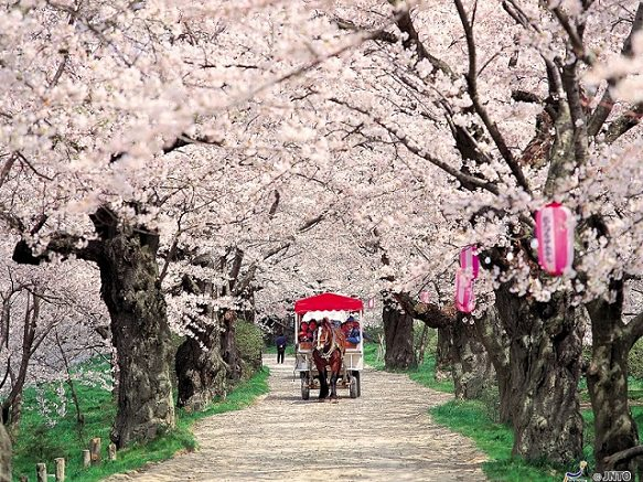 Iwate Kitakami | Tunnel of Cherry Blossoms