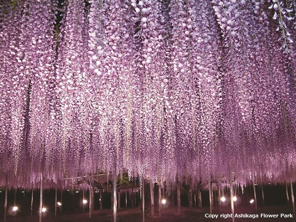 Tochigi Ashikaga Flower Park - Beautiful Wisteria