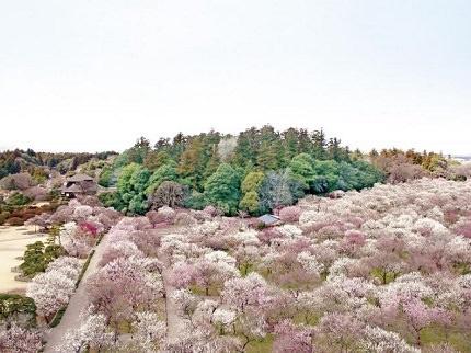 Ibaraki Kairakuen Garden | Over 3,000 Ume Trees