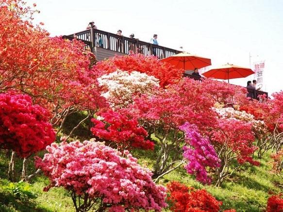 A Glimpse of the Alluring Azalea | Ibaraki