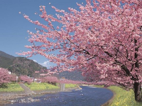 Large Pink Cherry Blossoms | Shizuoka
