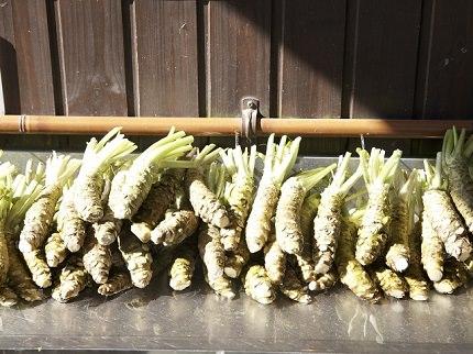 Japanese Horseradish | Wasabi