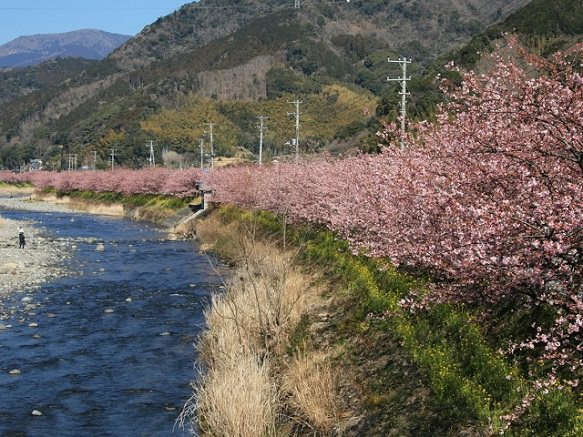Early Hanami in Izu Peninsula - View the Beautiful Sakura | Shizuoka