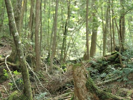 Aokigahara Forest | Sea of Trees