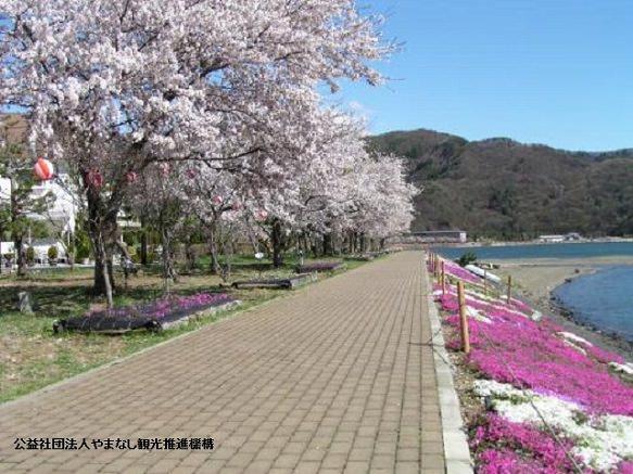 Lake Kawaguchi Cherry Blossom Festival