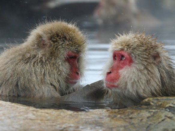 Nagano Snow Monkey | Where the Snow Monkeys Bathe