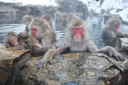 Yudanaka | Snow-covered Snow Monkeys bathing in open-air-thermal pools