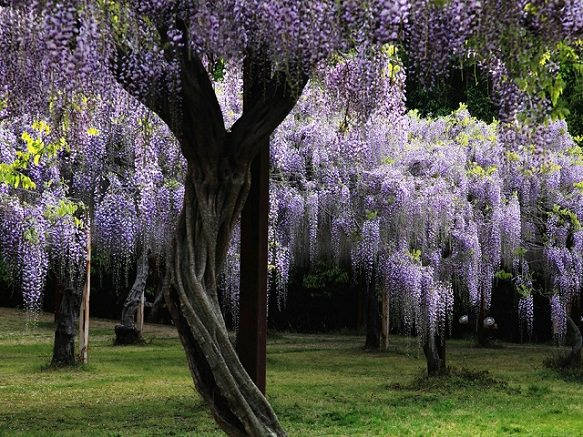 Festival filled with Clouds of Purple Fuji Flower | Okayama