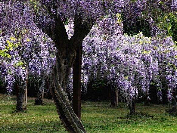 Okayama Fuji Park Festival | Clouds of Purple Fuji