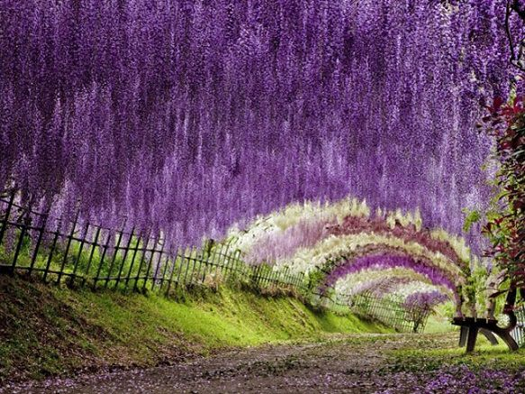 Kawachi Fuji Garden Wisteria Tunnel Japan Deluxe Tours