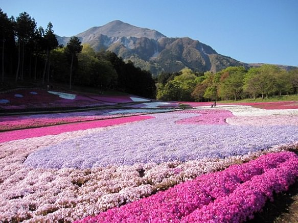 Hitsujiyama Park | Hills of Pink and Purple
