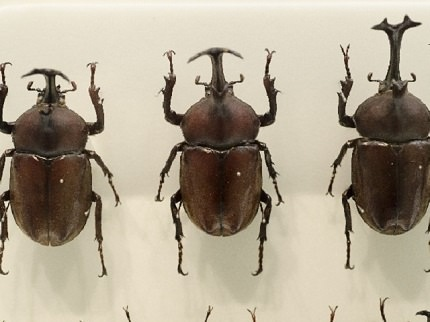 Japanese rhinoceros beetles