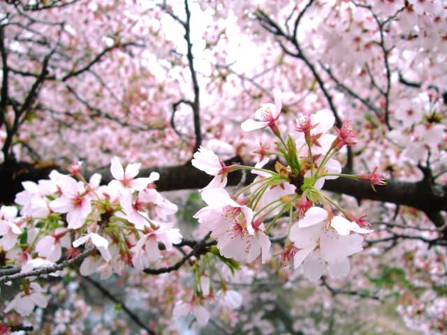 What is Sakura or Cherry Blossom Season?