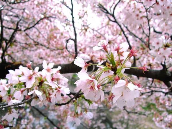 Sakura (Cherry Blossom) Season is Coming Up!