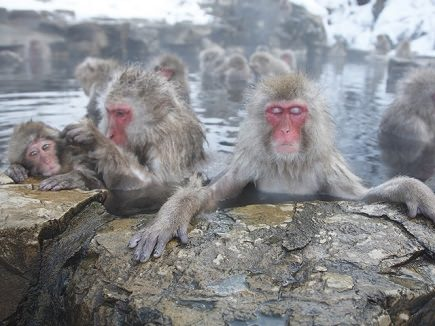 Snow Monkey soaking in a hot spring in Jigokudani Park in Nagano