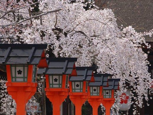 1. Japan Cherry Blossom Tour 6 Days