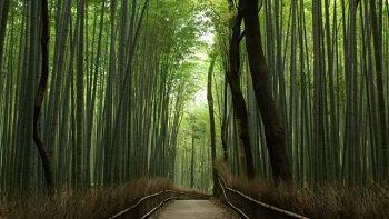 Serene Arashiyama Bamboo Grove