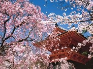 Photo of red Japanese temple with pink Japanese cherry blossom