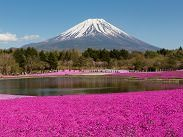 Photo of Mt. Fuji with Shibazakura in the view