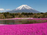 Photo of Mt. Fuji with Shibazakura in the view