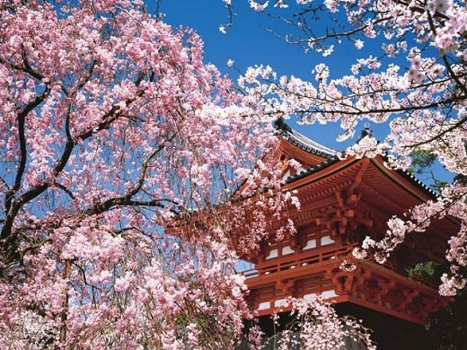 5.Cherry Blossom - Grand Tour