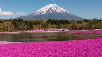 Fuji Shibazakura Festival Tour with Hiroshima