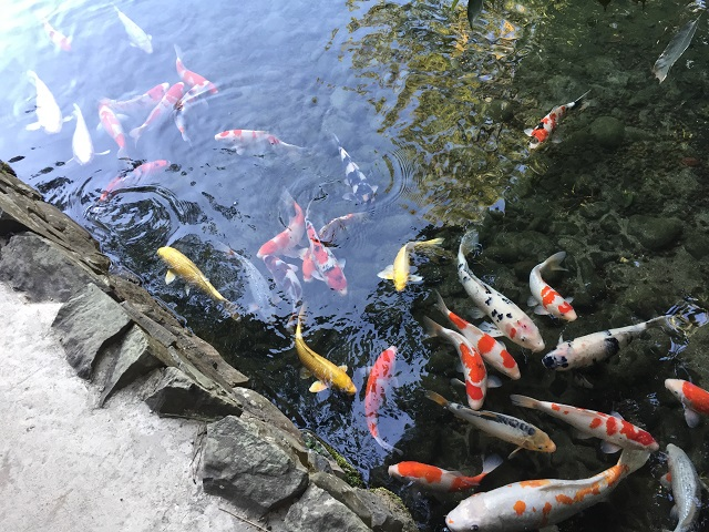 Koi ponds travel japan for Japan koi pool