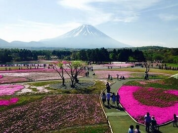 4. Fuji Shibazakura Festival Tours