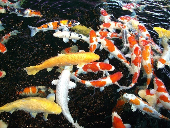 Aquarium Fish | Colored Carps
