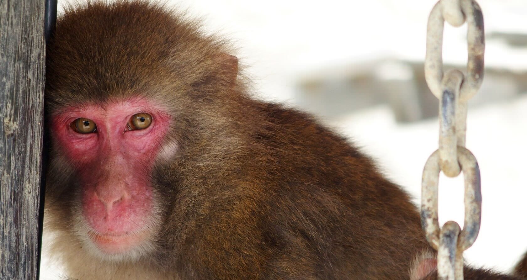 Adorable Snow Monkey