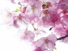 Japanese Cherry Blossoms - Sakura (Optional)