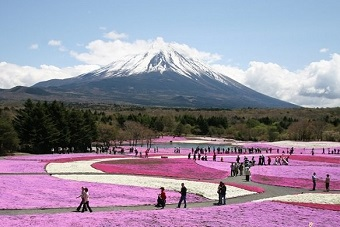 Mt. Fuji and Shibazakura carpet