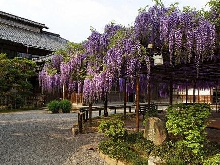 image of the purple wisteria