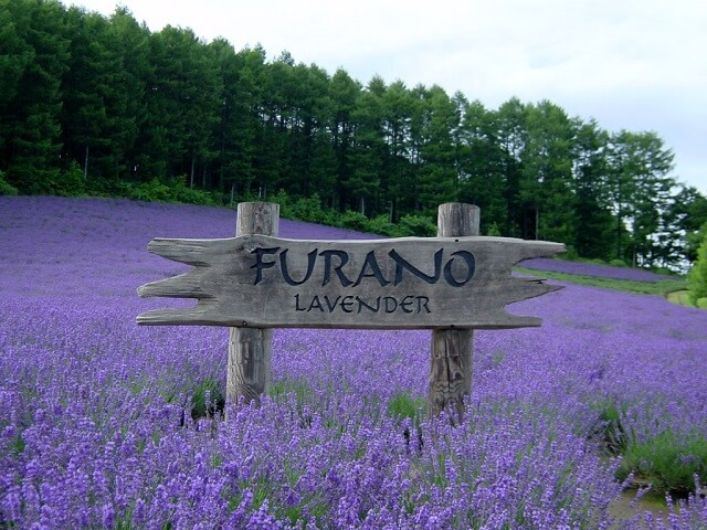 Japan's Famous Lavender Fields