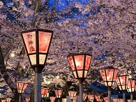 Photo of red Japanese lanterns with cherry blossom