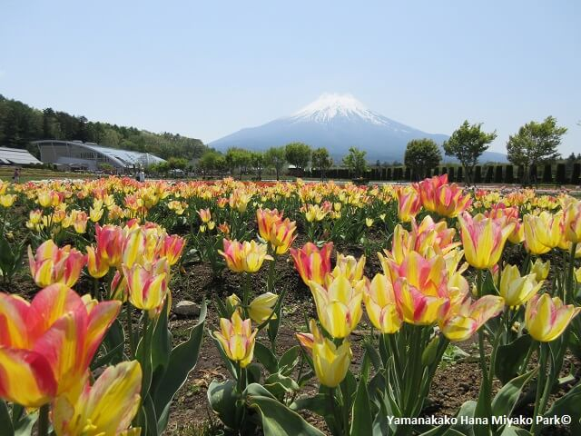 Massive Flower Park by Mt. Fuji