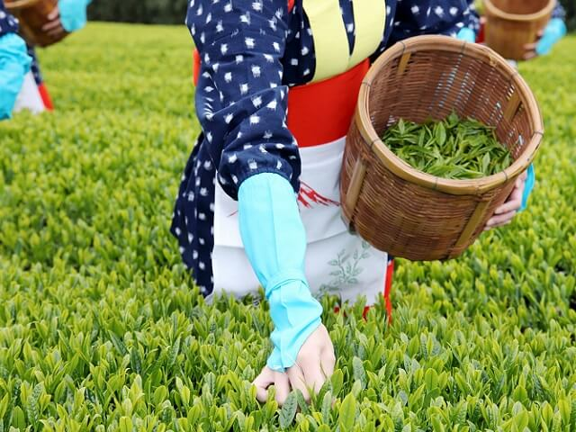 Pick Fresh Green Tea Leaves in Traditional Clothing