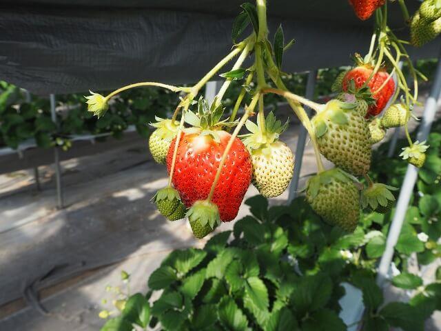 Pick fresh strawberries by Mt. Fuji