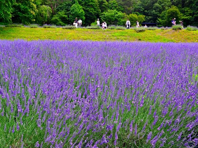 Lavender flowers are an early summer tradition
