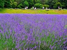 Hida Kiyomi Lavender Garden