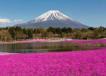 5.Fuji Shibazakura Festival Flower Tour